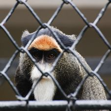 Free Loss Of Their Freedom The Baboons Royalty Free Stock Photo - 9357615