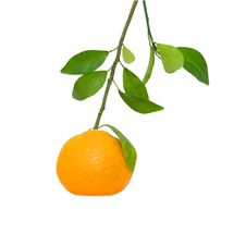 Free Branch With Tangerine Stock Photography - 9359742