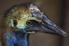Free Cassowary Royalty Free Stock Photos - 9359788