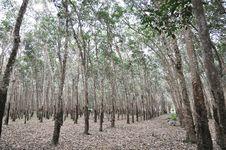 Tree Rubber Garden Fall Royalty Free Stock Photos
