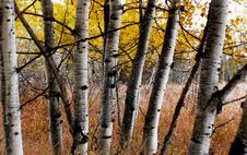Free Aspens In Alberta. Stock Photography - 93548782
