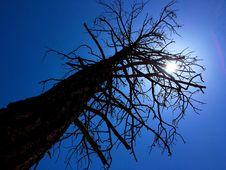 Free 2016/366/145 Ponderosa Pine Under A Noon Sun Stock Photos - 93549543