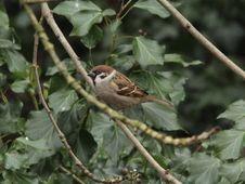 Free Tree Sparrow Royalty Free Stock Photo - 93551115