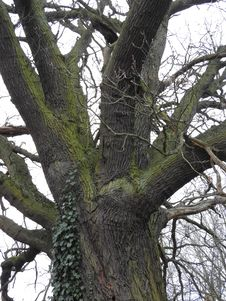 Free Oak Royalty Free Stock Photo - 93551425