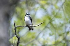 Free Oiseau &x28;Hirondelle Bicolore&x29; 200 Royalty Free Stock Images - 93552179