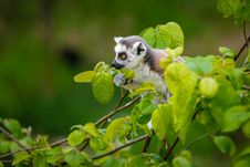 Free Ring-Tailed Lemur Baby Stock Images - 93552374
