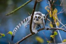 Free Ring-Tailed Lemur Baby Stock Images - 93552554