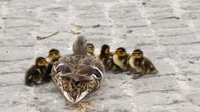 Free Duck And 6 Ducklings On Concrete Road During Daytime Royalty Free Stock Photo - 93554315