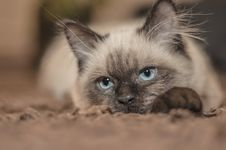Free Focus Photography Of Siamese Cat Stock Image - 93554431
