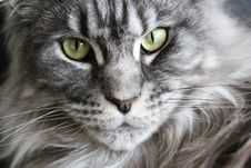 Free Tabby Cat Portrait Royalty Free Stock Photography - 93556127