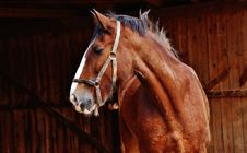 Free Chestnut Horse Stock Images - 93556344