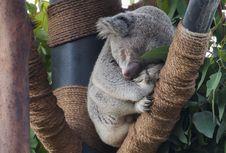 Free Close-up Of Koala On Tree Stock Images - 93557114
