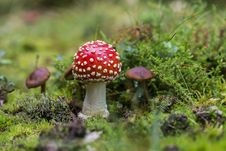 Free Close-up Of Fly Agaric Mushroom On Field Stock Image - 93557171
