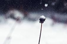 Free Dandelion Remnant In Snowy Wnter Royalty Free Stock Images - 93559999