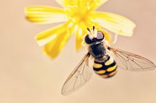 Free Wasp On A Yellow Flower Stock Photography - 93560142