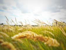 Free Grasses On Field Royalty Free Stock Image - 93561336