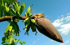 Free Banana Tree Under Blue Cloudy Sky Royalty Free Stock Photos - 93562178