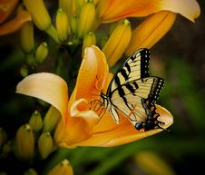 Free Black And White Butterfly Perch On Yellow Petaled Flower Royalty Free Stock Image - 93562346