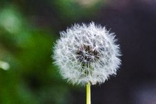 Free Dandelion Gone To Seed Royalty Free Stock Photos - 93562418