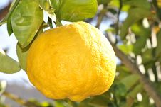 Free Lemon Fruit On Branch During Day Time Stock Images - 93562874