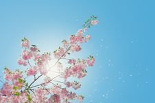 Free Pink Blossoms Against Blue Skies Royalty Free Stock Images - 93562909