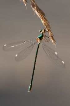 Free Green And Brown Dragon Fly On Wheat Plant Stock Image - 93562941