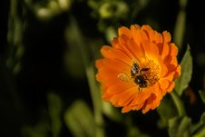 Free Black And Yellow Honey Bee Perch Orange Petaled Flower Stock Images - 93562954