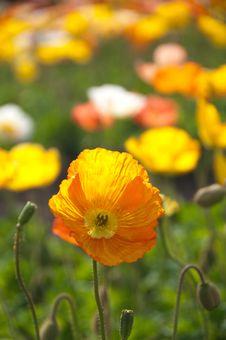 Free Orange Flowers In Field Stock Image - 93562971