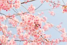 Free Blossom, Flower, Pink, Cherry Blossom Royalty Free Stock Photography - 93563097