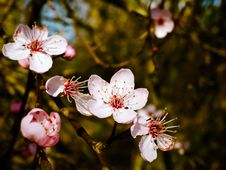 Free Blossom, Flower, Spring, Pink Stock Images - 93563384