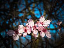 Free Blossom, Flower, Pink, Spring Stock Images - 93563814