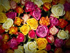 Free Flower, Rose, Garden Roses, Rose Family Royalty Free Stock Photography - 93564157
