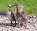 Free Geese Stock Photos - 9360403
