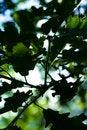 Free Oak Leaves Stock Photo - 9362990