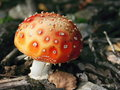 Free Fly Agaric Stock Image - 9363441