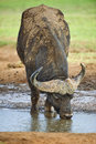 Free Buffalo In The Rain Royalty Free Stock Images - 9367029