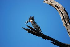 Giant Kingfisher (Megaceryle Maxima) Stock Images