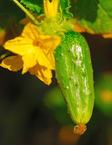 Free Green Cucumber Royalty Free Stock Images - 9362239