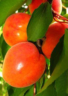 Free Apricot Stock Photography - 9362312