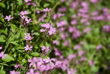 Free Pink Wild Flowers Royalty Free Stock Image - 9363026