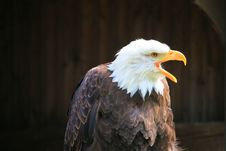Free Eagle Stock Photography - 9363622