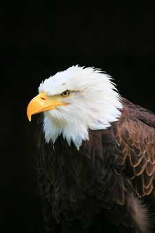 Free Eagle Stock Image - 9363801