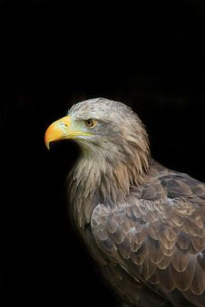 Free Eagle Royalty Free Stock Images - 9363849
