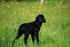 Free Lamb Stock Image - 9364171