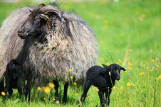 Free Lamb Stock Image - 9364341