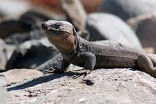 Free Lizard Royalty Free Stock Photo - 9365175