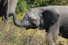 Free African Elephant Cub Stock Photo - 9365680