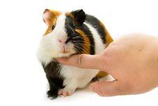 Free Guinea-pig Stock Photos - 9366183