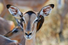 Free Impala Antelope And Oxpecker Stock Photos - 9366313