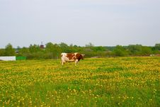 Cow In The Field Royalty Free Stock Photos